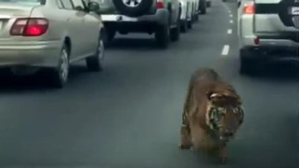 Un tigre atemoriza a los conductores en Qatar (Vídeo)