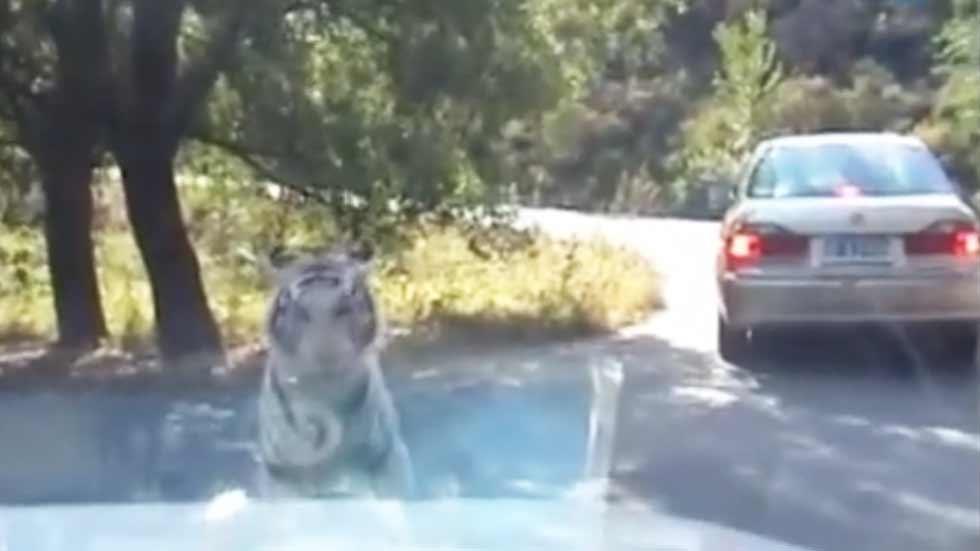 ¿Cómo reaccionarías si un tigre empieza a comerse tu coche? (vídeo)