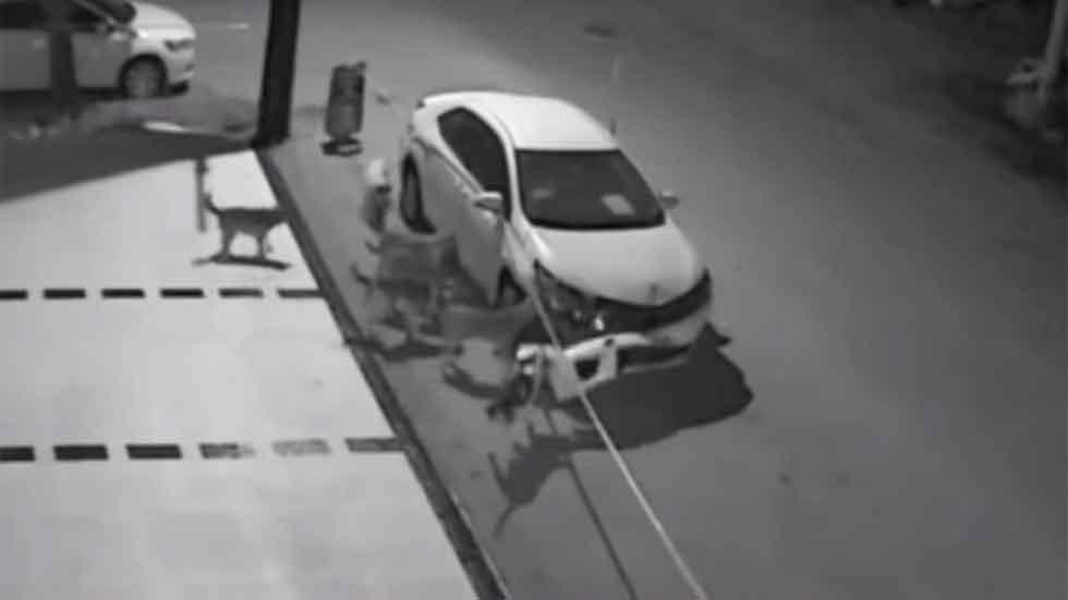 Un grupo de perros callejeros ataca un Toyota Corolla (vídeo)
