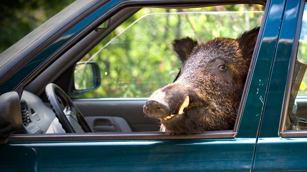 Los jabalies causan un tercio de los accidentes provocados por animales